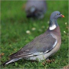Pigeon ramier - oiseaux.net